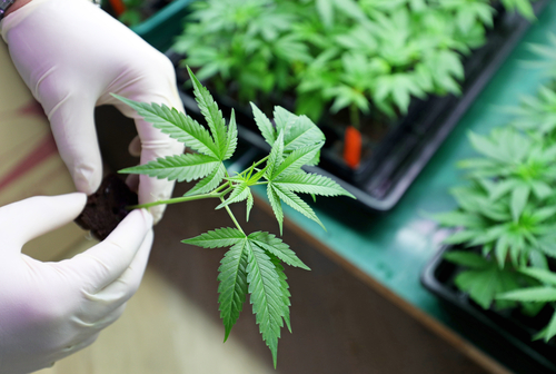 DEA Clears Way for MMJ to Import Cannabis Compounds for Trials in Huntington's Disease, MS