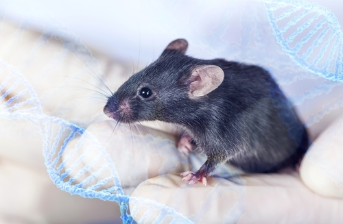 Deleting Mss51 Gene Reduces Fatigue, Increases Endurance in DMD Mice