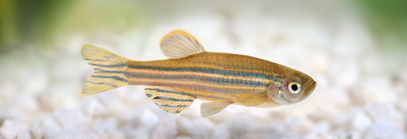 LEMS Therapy Eases Nerve-Muscle Problems in Pompe Zebrafish Model