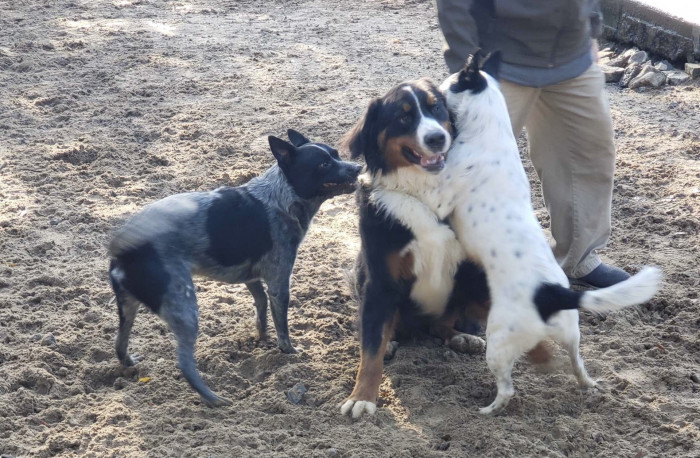 My Blue Heelers Provided the Healing From Trauma That I Needed