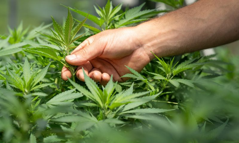 Stopping Cannabis Aids Cognition in MS, But Not Awareness of Gains